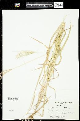 Chloris elata image