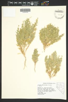 Image of Atriplex phyllostegia