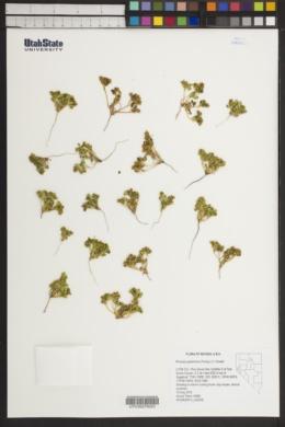 Image of Phacelia glaberrima