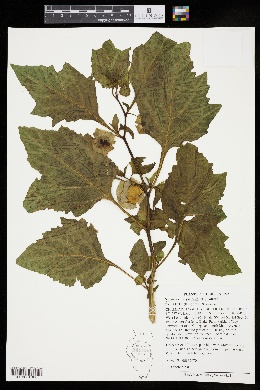 Nicandra physalodes image