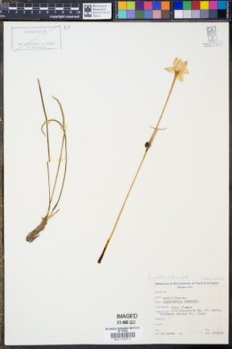 Image of Zephyranthes drummondii