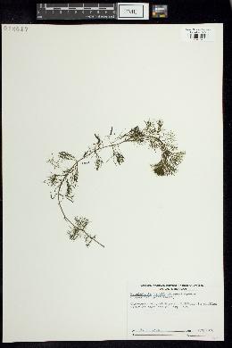 Megalodonta beckii image