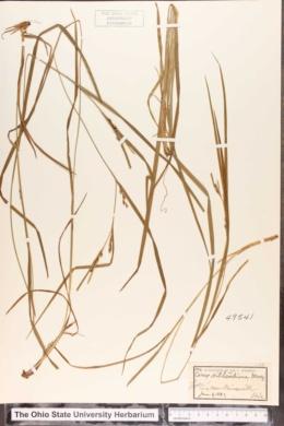 Carex hitchcockiana image
