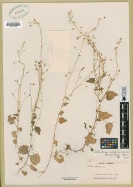 Lobelia cordifolia image