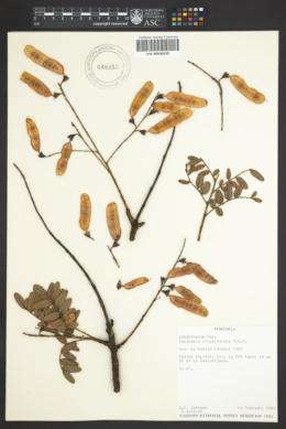 Image of Bowdichia virgilioides