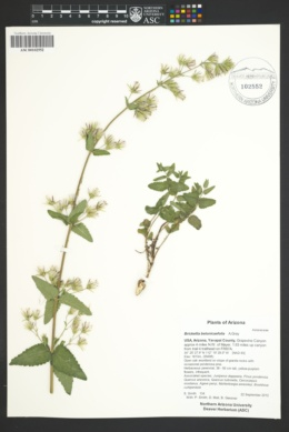 Image of Brickellia betonicaefolia