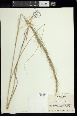 Image of Aristida gibbosa