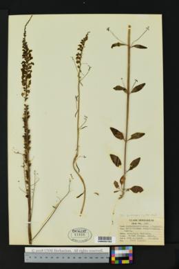 Image of Antirrhinum coulterianum