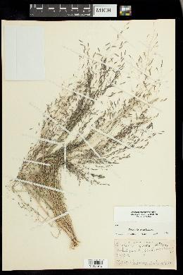 Eragrostis pectinacea var. miserrima image