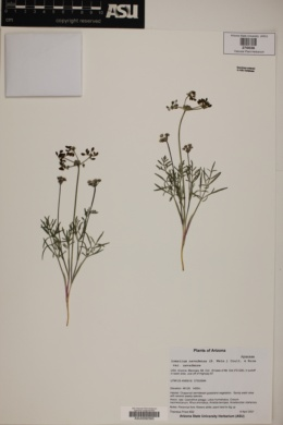 Lomatium nevadense var. parishii image