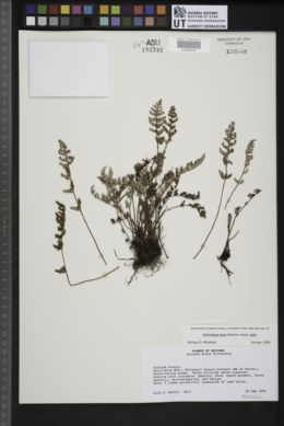 Notholaena grayi image