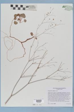 Eriogonum capillare image