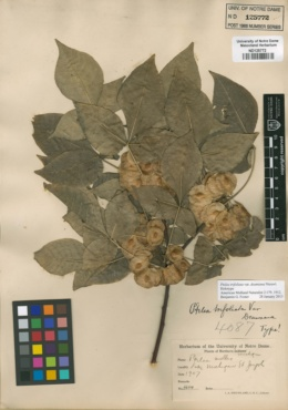 Image of Ptelea mollis