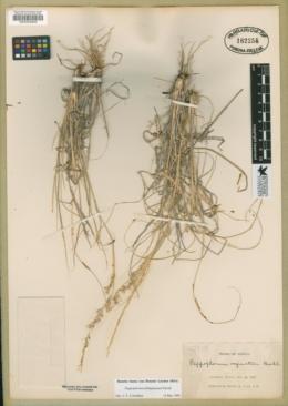 Pappophorum philippianum image