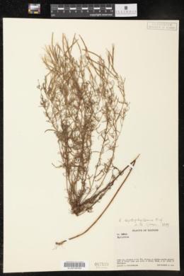 Epilobium leptophyllum image