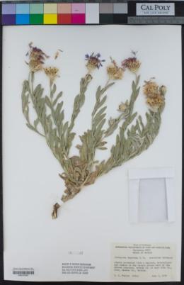 Centaurea depressa image
