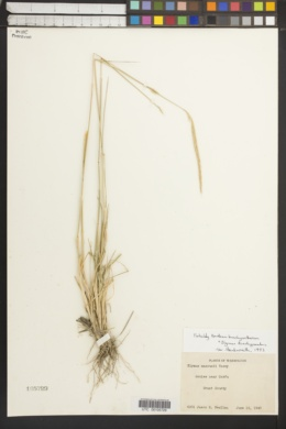 Image of × elyhordeum macounii