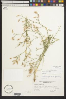 Image of Centaurea squarrosa