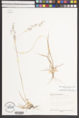 Melinis repens subsp. repens image