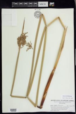 Juncus textilis image