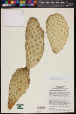 Opuntia durangensis image
