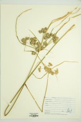 Cyperus distinctus image