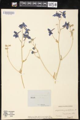 Delphinium grandiflorum image