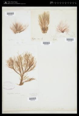 Halurus flosculosus image