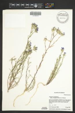Eriastrum densifolium subsp. elongatum image