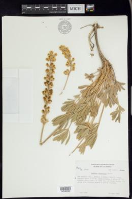 Image of Lupinus peirsonii