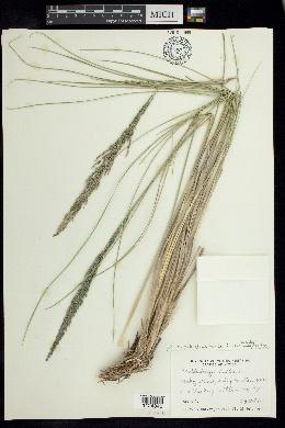 Image of Muhlenbergia pubigluma
