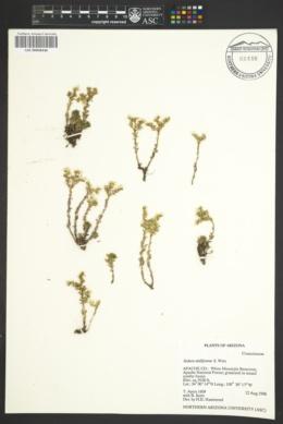 Sedum stelliforme image