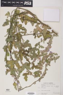 Sphaeralcea fendleri subsp. venusta image