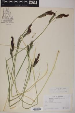 Carex senta image