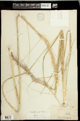 Achnatherum coronatum image