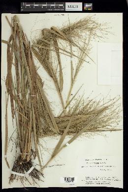 Image of Panicum rudgei