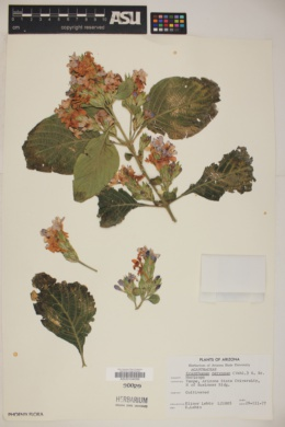 Eranthemum nervosum image