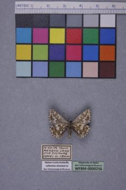 Pyrgus centaureae image