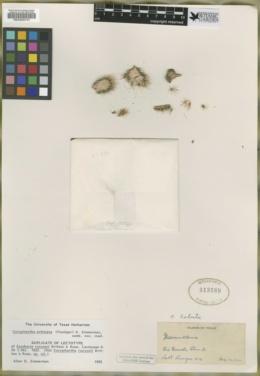 Image of Coryphantha pottsiana