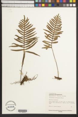 Image of Polypodium montigenum