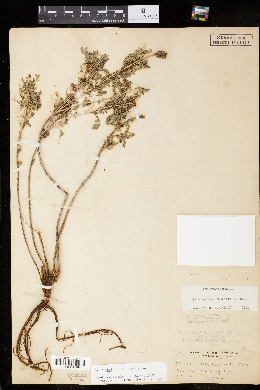 Image of Dalea foliosa
