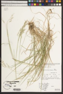 Poa affinis image