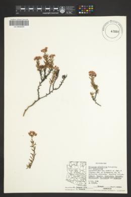 Eriogonum ericifolium image