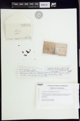 Cryptopleura peltata image