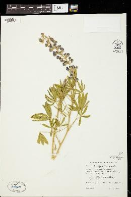 Image of Lupinus × alpestris