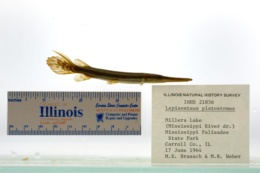 Lepisosteus platostomus image