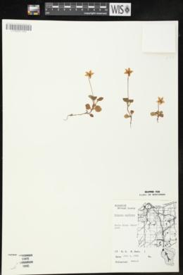 Moneses uniflora image