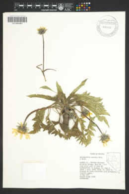 Image of Balsamorhiza serrata