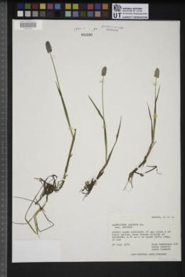 Alopecurus alpinus subsp. alpinus image