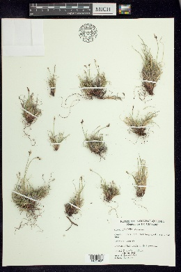 Image of Carex glacialis